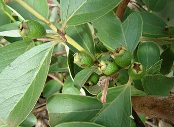カツアーバ 木
